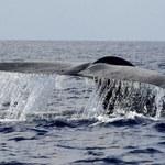 Płetwale błękitne wariują przez wojskowe sonary