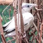 Płock: W zoo wykluł się szpak balijski, jeden z najrzadszych ptaków na Ziemi