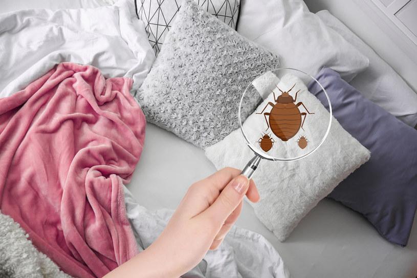 Pluskwy łóżkowe błyskawicznie się rozmnażają! /123RF/PICSEL