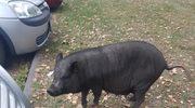 Po Chełmku chodził dzik, który okazał się... świnką wietnamską
