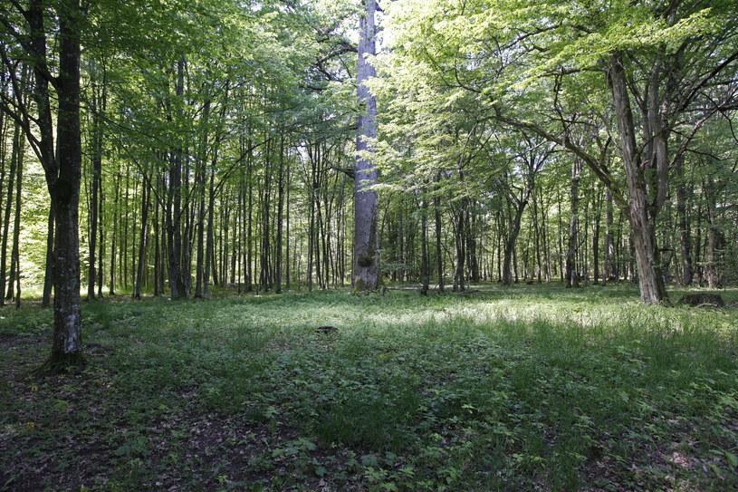 Po decyzji ministra środowiska, nowy Plan Urządzania Lasu nadleśnictwa Białowieża na lata 2012-2021 zakłada możliwość wycięcia 188 tys. metrów sześciennych drewna, przed zmianą było to 63,4 tys. /Artur Reszko /PAP