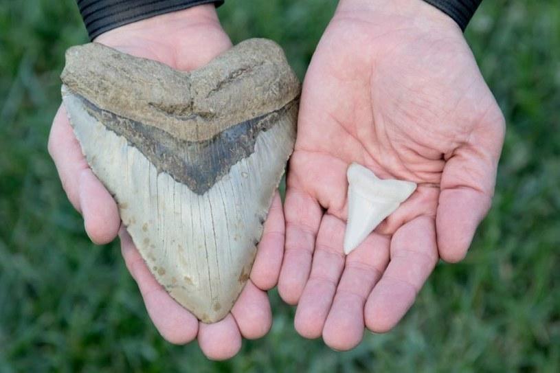 Po lewej ząb megalodona, po prawej rekina białego /materiały prasowe