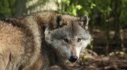 Po stu latach wilki wracają do Belgii