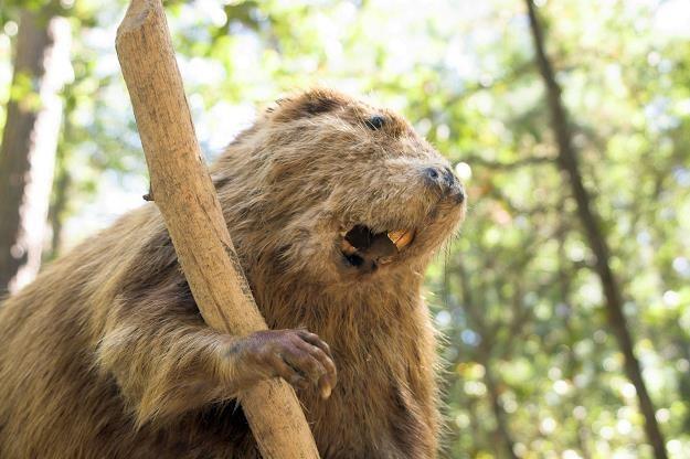 Po suchym roku, mniejsze wypłaty za szkody bobrowe na Podlasiu /©123RF/PICSEL