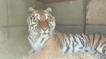 Pobudka tygrysku! Wygląda na zadowolonego?