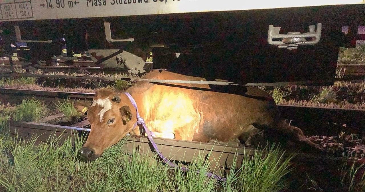 Pociąg potrącił dwie krowy. Jedna utknęła pod wagonem