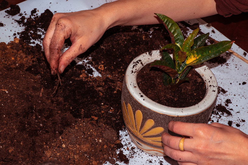 Początek wiosny to dobry czas, aby przesadzać rośliny do nowych, większych doniczek /123RF/PICSEL