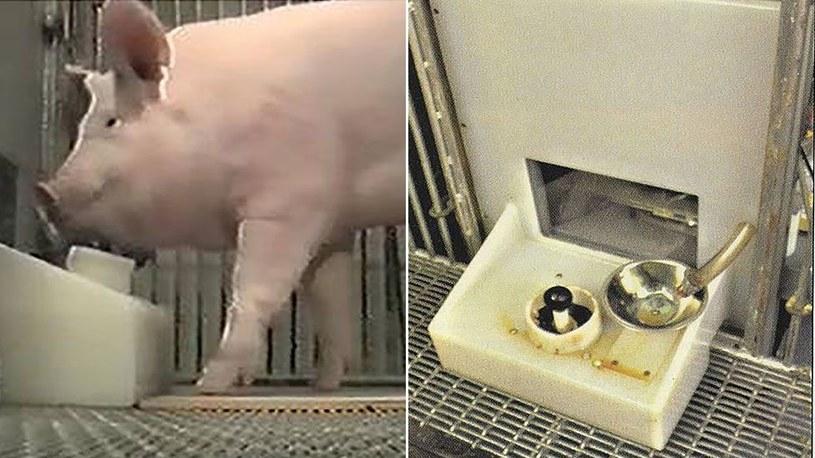 Poczatkowo świniom podstawiano nieaktywny kontroler, by oswoić zwierzęta do pomysłu /Frontiers in Psychology /materiały źródłowe