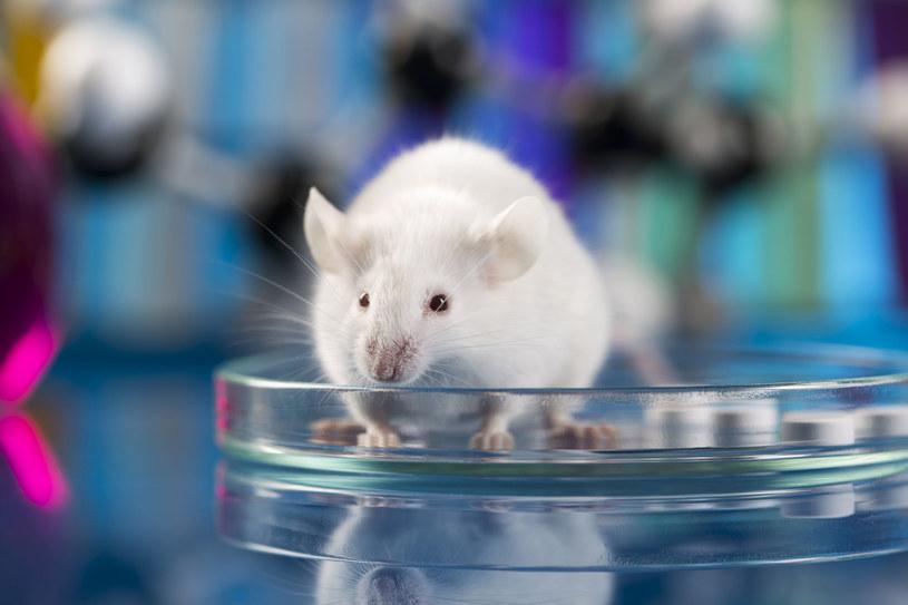 Podanie białka starszym myszom pozwalało wydłużyć im życie nawet o 16 proc. /123RF/PICSEL