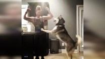Podekscytowany husky chce tańczyć ze swoją panią