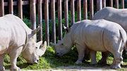 Podgatunek białego nosorożca krok od wymarcia