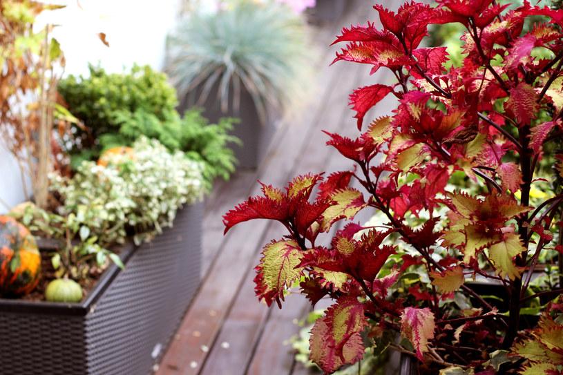 Podlewanie roślin na balkonie i tarasie we wrześniu /123RF/PICSEL
