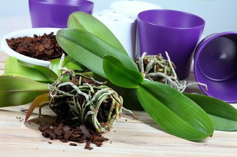 Podłoże do storczyków nie powinno być ziemią ogrodniczą /123RF/PICSEL