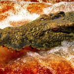 Podszedł za blisko gniazda. Zjadł go krokodyl