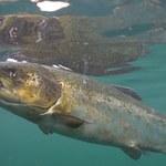 Podwodne klatki, pasożyty i martwe ryby