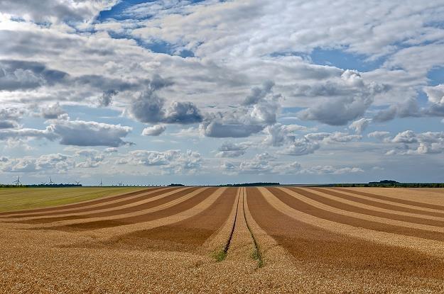 Pogoda sprzyjała lepszym zbiorom zbóż /©123RF/PICSEL