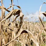 Pogoda w maju zadecyduje o cenach żywności w tym roku