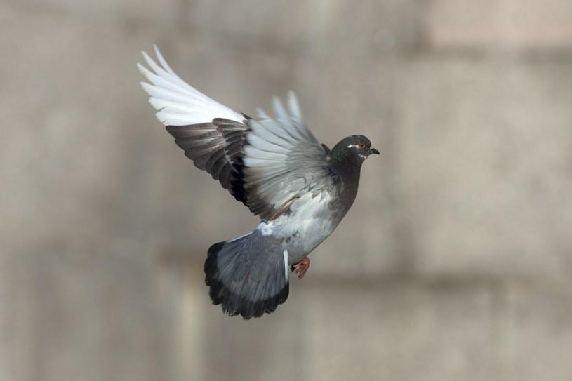 Poinformowano, że gołębie mogą lecieć w grupach od pięciu do dwudziestu ptaków. /123RF/PICSEL