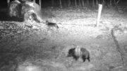 Pokojowe spotkanie dzika z wilkami