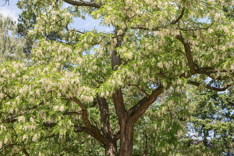 Pokrój akacji /©123RF/PICSEL