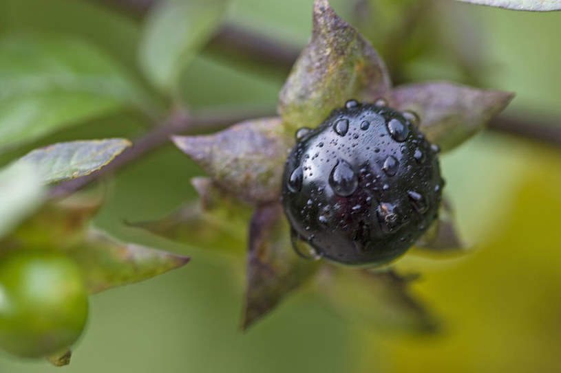 Pokrzyk wilcza jagoda /©123RF/PICSEL