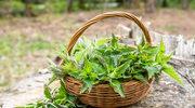Pokrzywa - wyjątkowe źródło wielu witamin i minerałów