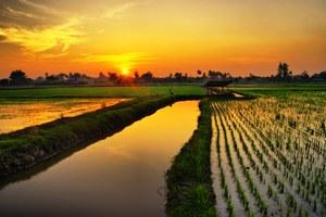 Pola ryżowe w Zjednoczonych Emiratach Arabskich
