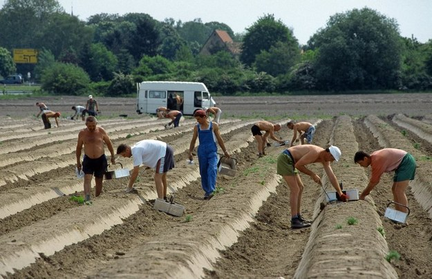 Polacy chętnie pracują w rolnictwie /Robert Kn /Super Express
