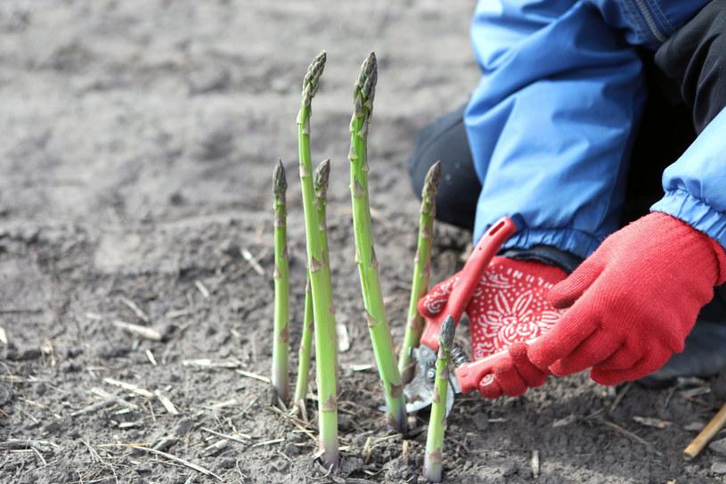 Polacy nie chcą już pracować za granicą przy zbiorach warzyw i owoców /123RF/PICSEL