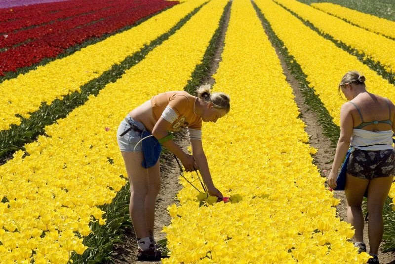 Polacy w Holandii pracują m.in. przy uprawach kwiatów /STR /PAP/EPA