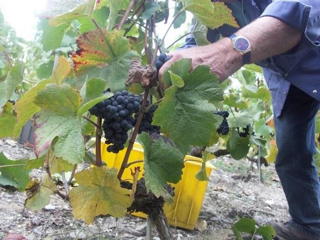 Polacy zatrudnieni przy winobraniu mogą liczyć na zarobki w granicach 8,86-12 euro na godzinę /© Bauer