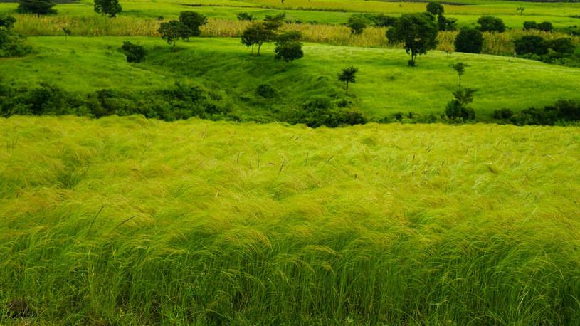 Pole teffu w Etiopii /©123RF/PICSEL