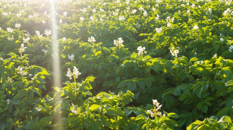 Pole ziemniaków /©123RF/PICSEL