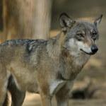 Policja wyjaśnia sprawę śmierci wilka w Bieszczadach. Przyrodnicy: To mógł być kłusownik