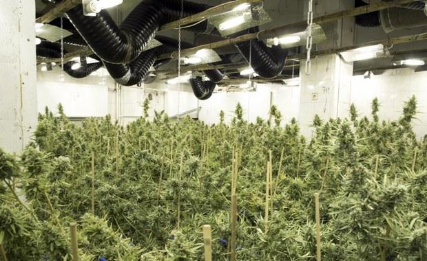 Policja zlikwidowała plantację marihuany. Zatrzymano dwóch Chińczyków