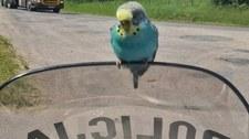 Policjanci kontrolowali kierowców, a ich kontrolowała... papuga