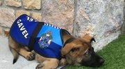 Policyjny pies zwolniony z pracy za bycie… zbyt przyjacielskim!