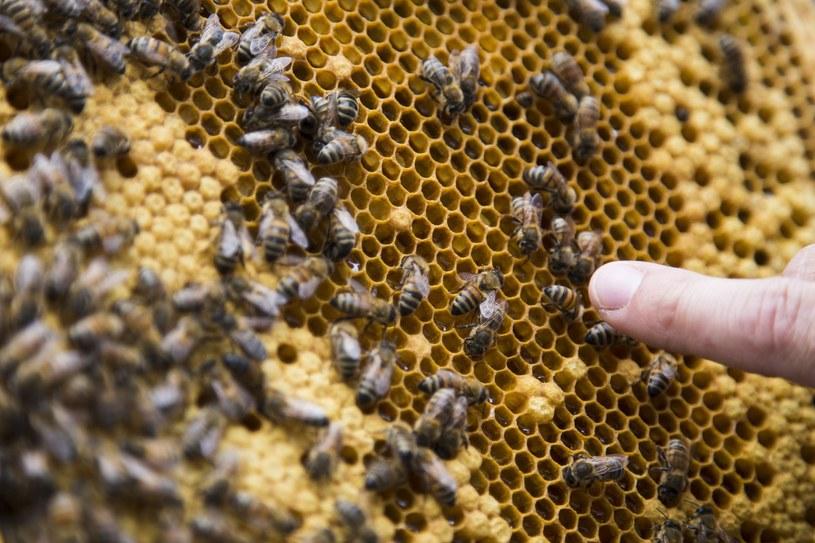 Połowa pszczół mogła nie przeżyć zimy. Eksperci ostrzegają /Andrzej Hulimka  /Reporter
