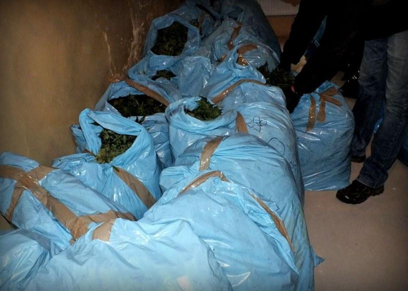 Połowa z zabezpieczonych roślin była już przygotowywana do ścięcia i suszenia /Policja