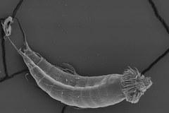 Polska badaczka odkryła nowe gatunki smoków morskich
