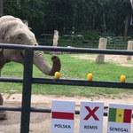 Polska – Senegal. Słonica Citta wskazała zwycięzcę. A Wy jak obstawiacie?