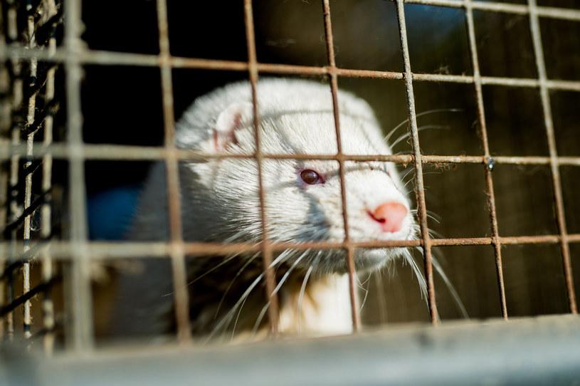 Polska to drugi w UE hodowca zwierząt futerkowych /Daniel Dmitriew /Agencja FORUM