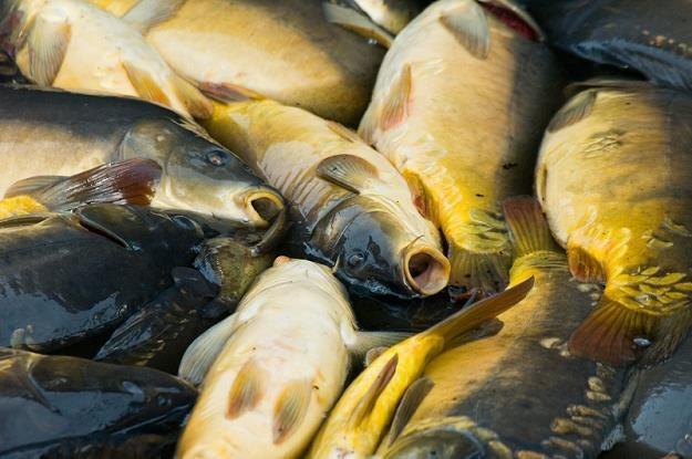 Polski karp jest rybą ekologiczną /© Panthermedia