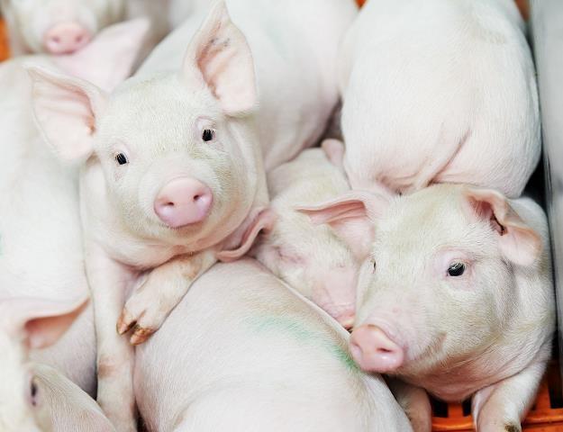 Polski rolnik musi rejestrować każdą świnię /©123RF/PICSEL