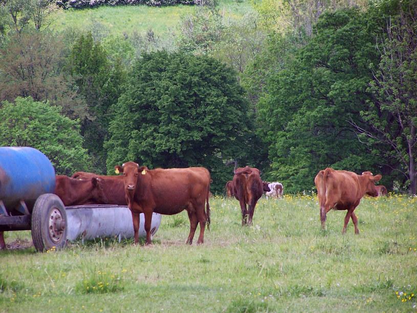Polskie czerwone krowy /Wikimedia