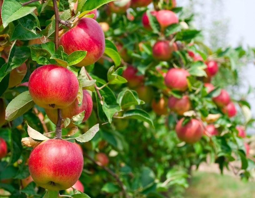 Polskie jabłka najdroższe na rynku unijnym /123RF/PICSEL