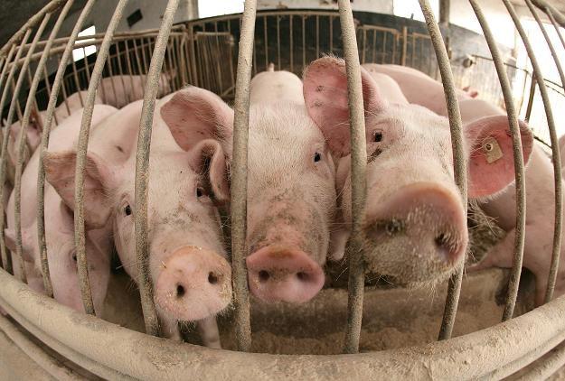 Polskie świnie raczej nie zagrają w gry komputerowe /AFP