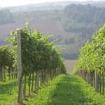 Polskie wino zaskoczy niejednego niedowiarka