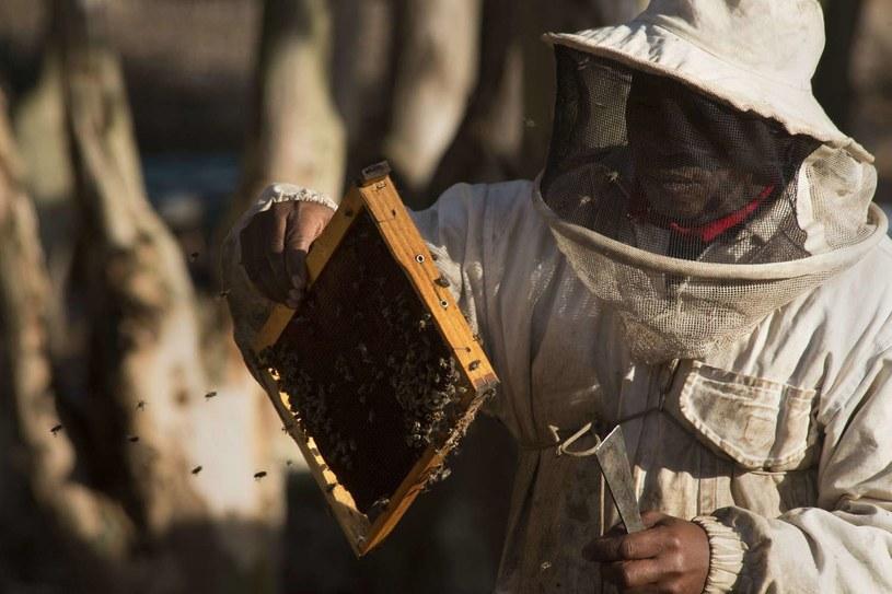 Południowoafrykański pszczelarz oceniający zdrowie pszczół. /RODGER BOSCH /AFP