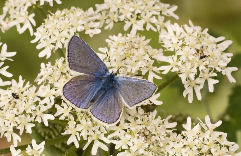 Polyommatus icarus /FLPA /East News